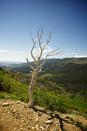 A dead tree bleaches in the sun of a Wyoming morning.