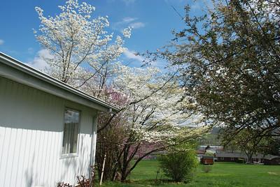 dogwood and flowering crabapple