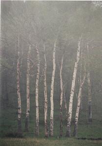 Aspen in fog