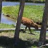 Baby bison and moms run/walk along the Firehold to a meadow to meet the herd