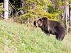 Grizzly Bear_DSC8023