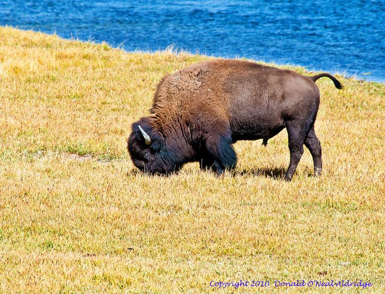 American Bison_DSC7987