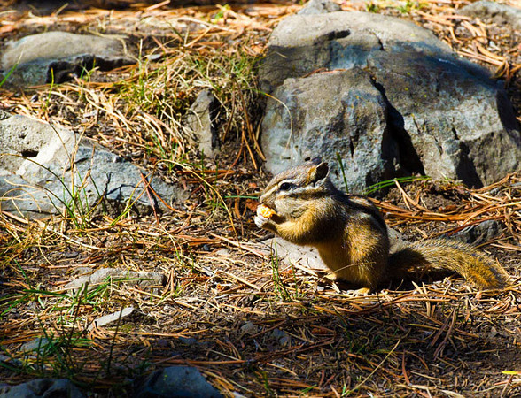 Chipmunk_Sheepeaters Cliff_YNP_sm_D3S1658 (2)