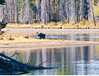 Bull Moose at Oxbow Bend_DSC8000