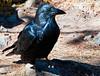 Raven_YNP_sm_DSC8407