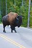 Bison with Attitude_DSC7836