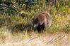 Cinnamon Bear_DSC8237