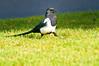 Black-billed Magpie_YNP_DSC8357