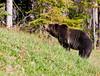Grizzly Bear_DSC8016