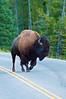 Bison with Attitude_DSC7834
