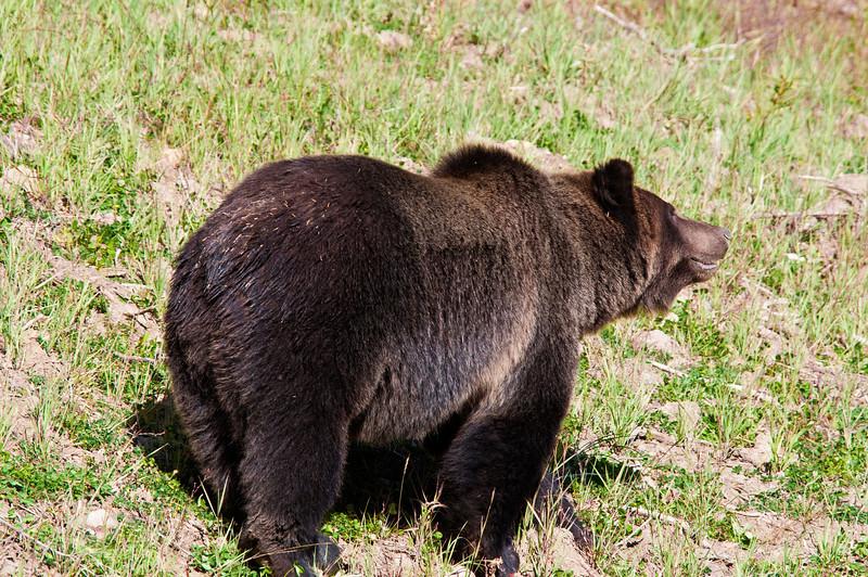 Grizzly Bear_DSC8031