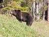 Grizzly Bear_DSC8020