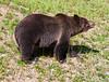 Grizzly Bear_DSC8032