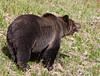 Grizzly Bear_DSC8030