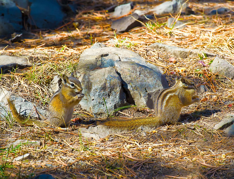 Chipmunks_Sheepeaters Cliff_YNP_D3S1668