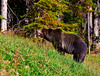 Grizzly Bear_DSC8013