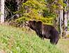 Grizzly Bear_DSC8015