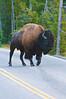 Bison with Attitude_DSC7837