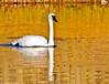 Trumpeter Swan_YNP_DSC8569