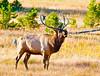 Bull Elk_YNP_DSC8457