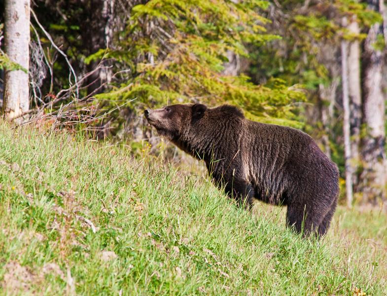 Grizzly Bear_DSC8014