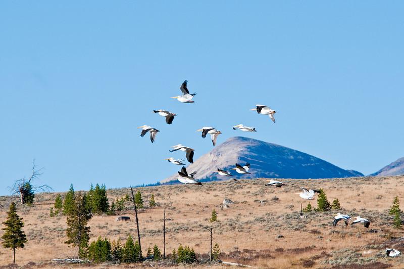 White Pelicans_DSC7949