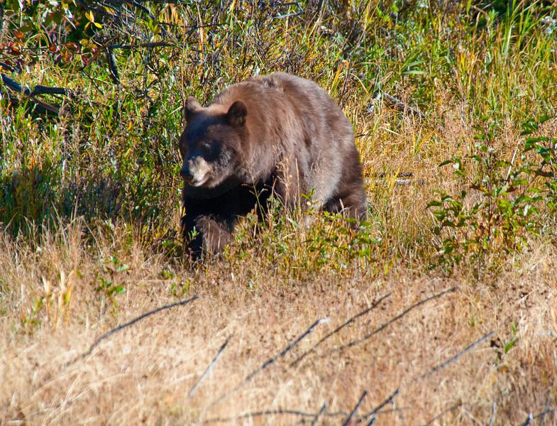Cinnamon Bear_DSC8235