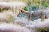 Coyote Mousing_YNP_DSC8420