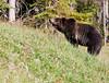Grizzly Bear_DSC8017