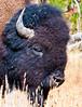 Bison Portrait_YNP_DSC7853