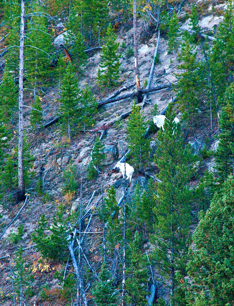 Mountain Goats_DSC7804