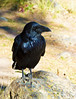 Raven_Sheepeaters Cliff_YNP_D3S1805