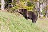 Grizzly Bear_DSC8018_1