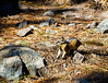Chipmunk_Sheepeaters Cliff_YNP_D3S1593