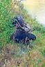Bull Moose and Mate_GTNP_DSC8344
