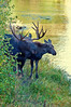 Bull Moose and Calf_GTNP_DSC8288