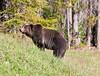 Grizzly Bear_DSC8019