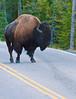 Bison with Attitude_DSC7835