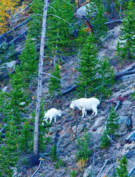 Mountain Goats_02_YNP_DSC7823