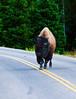 Bison with Attitude_DSC7833