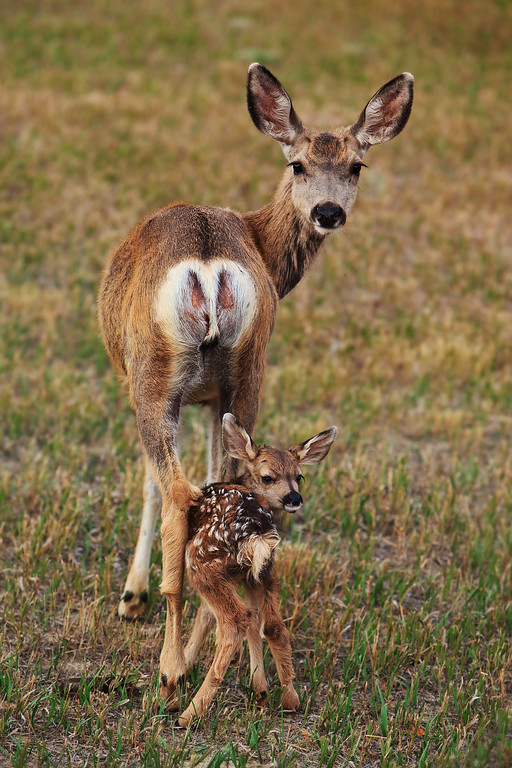 A 2 day old mule deer fawn follows it's mother's gaze.  near Billings, MT