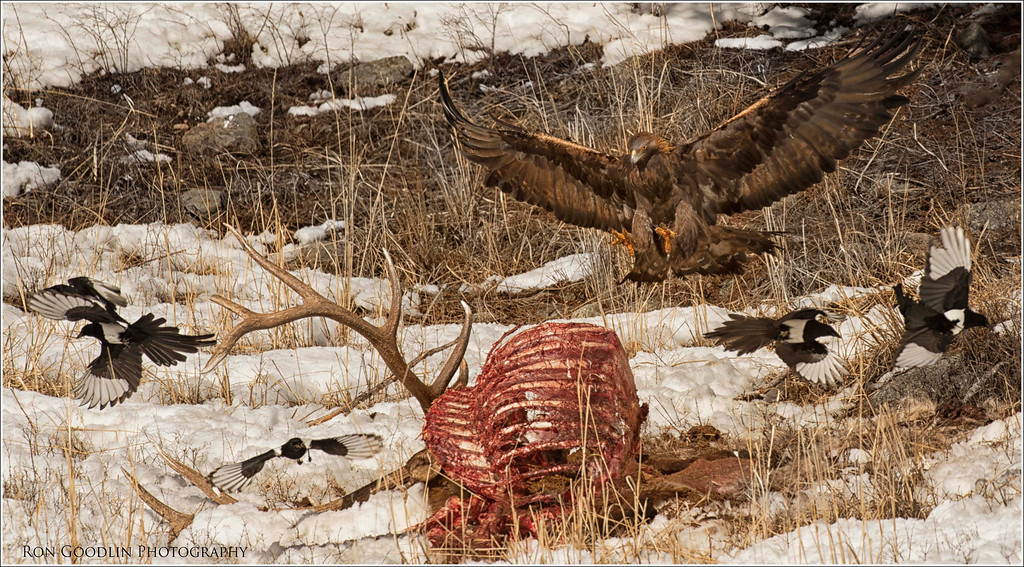 Golden Eagle landing on Elk carcass as Magpies scatter