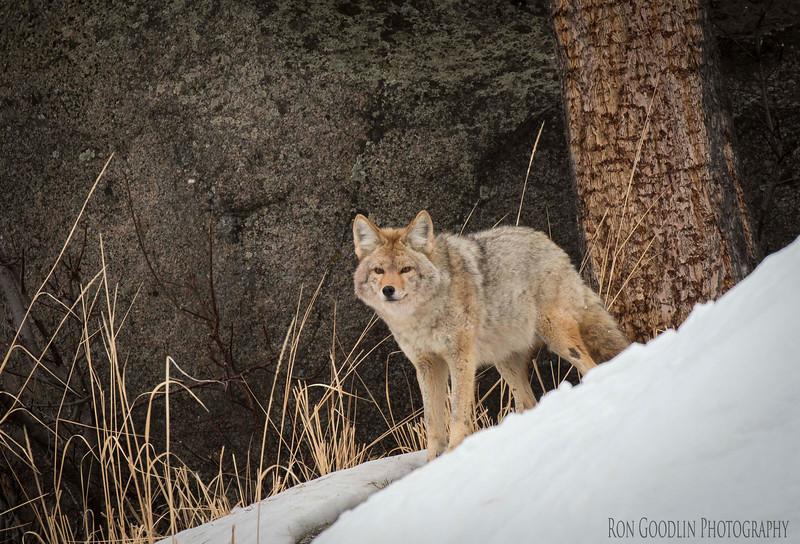 A Bateman Coyote portrait