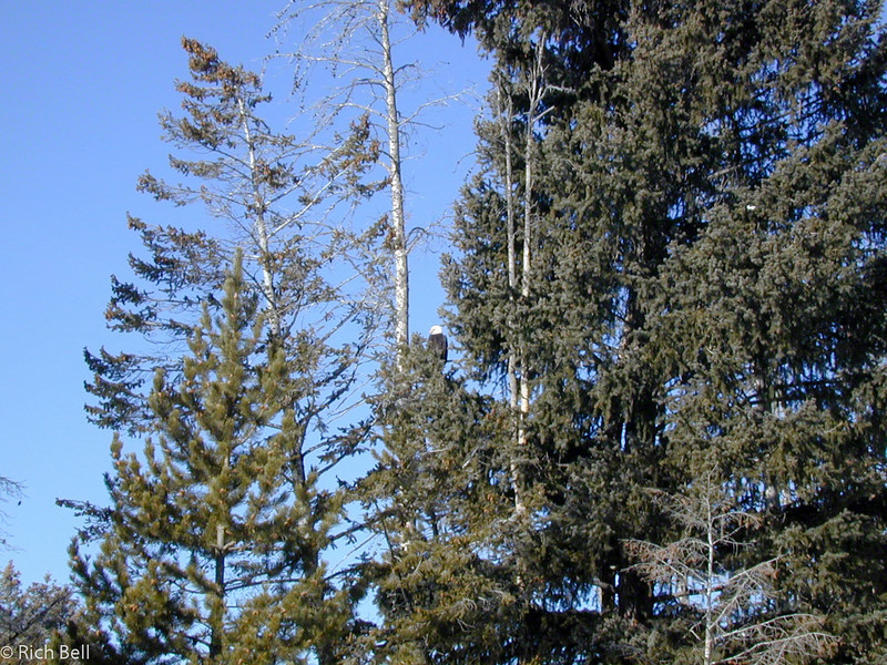 20020216Bald Eagle in Nest near Madison River0001