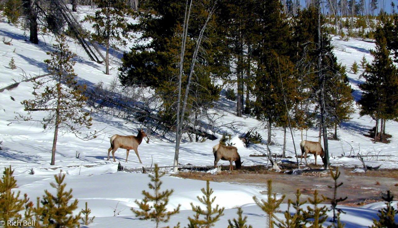 20100721Elk in Yellowstone 60036