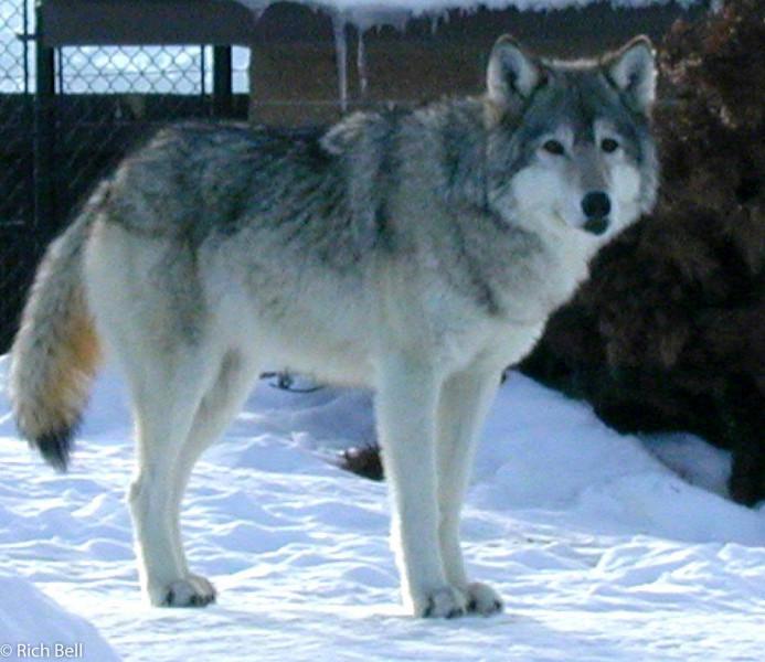 20100721Wolf in West Yellowstone Montana 50083