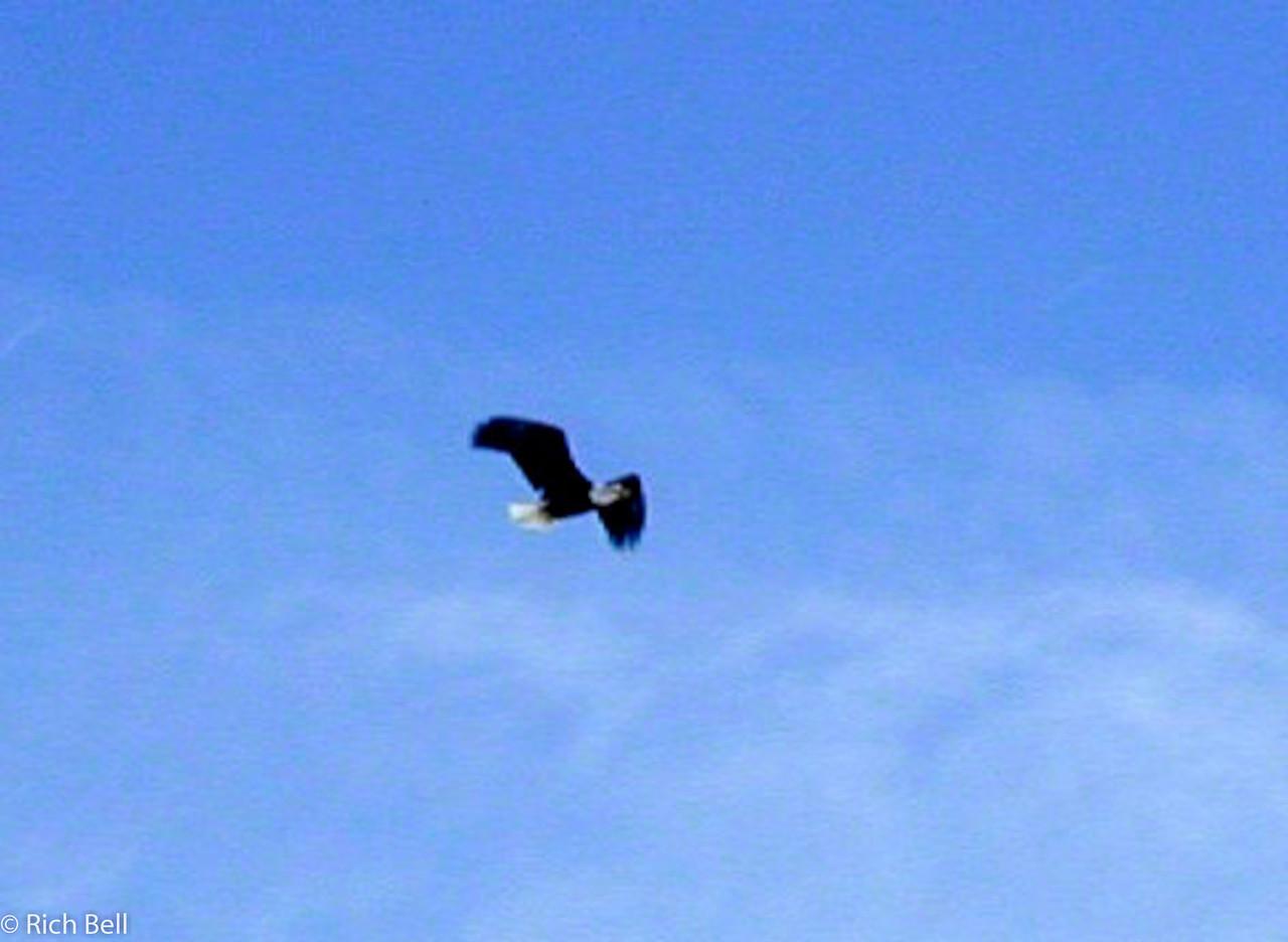 20100721Flying Bald Eagle0038