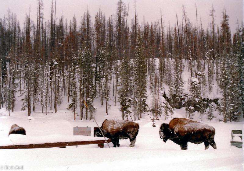 20100721Yellowstone Buffalo in Snow0088