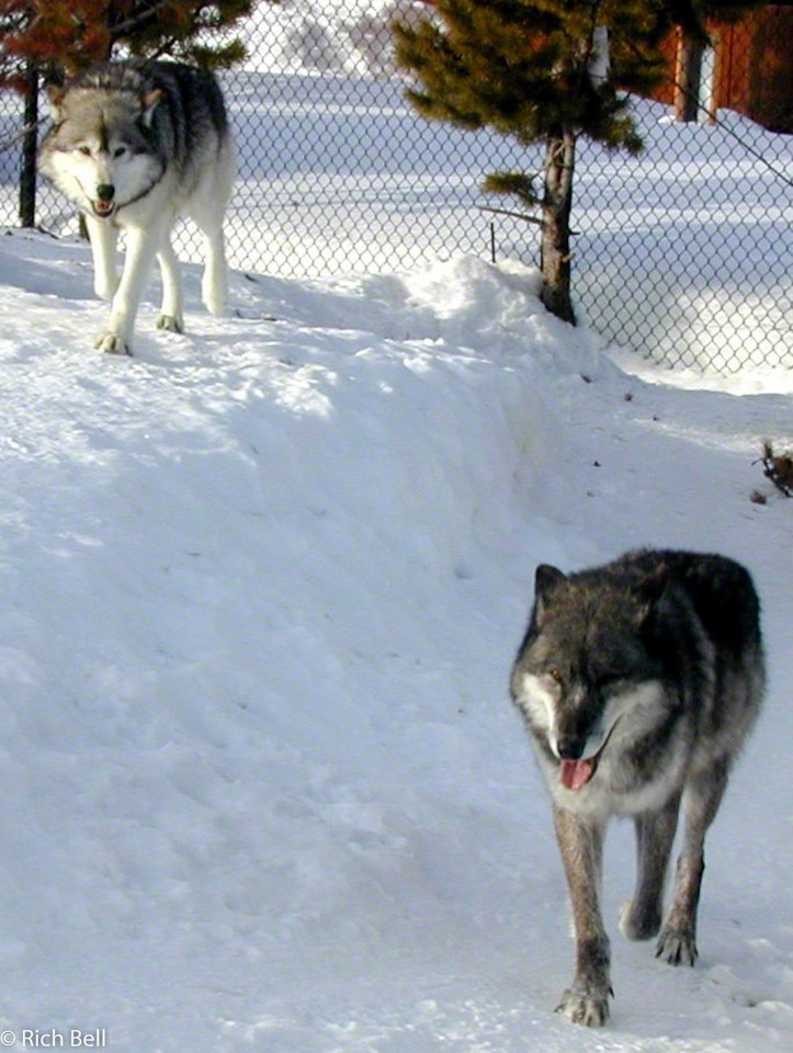 20100721Wolfs in West Yellowstone Montana 20085