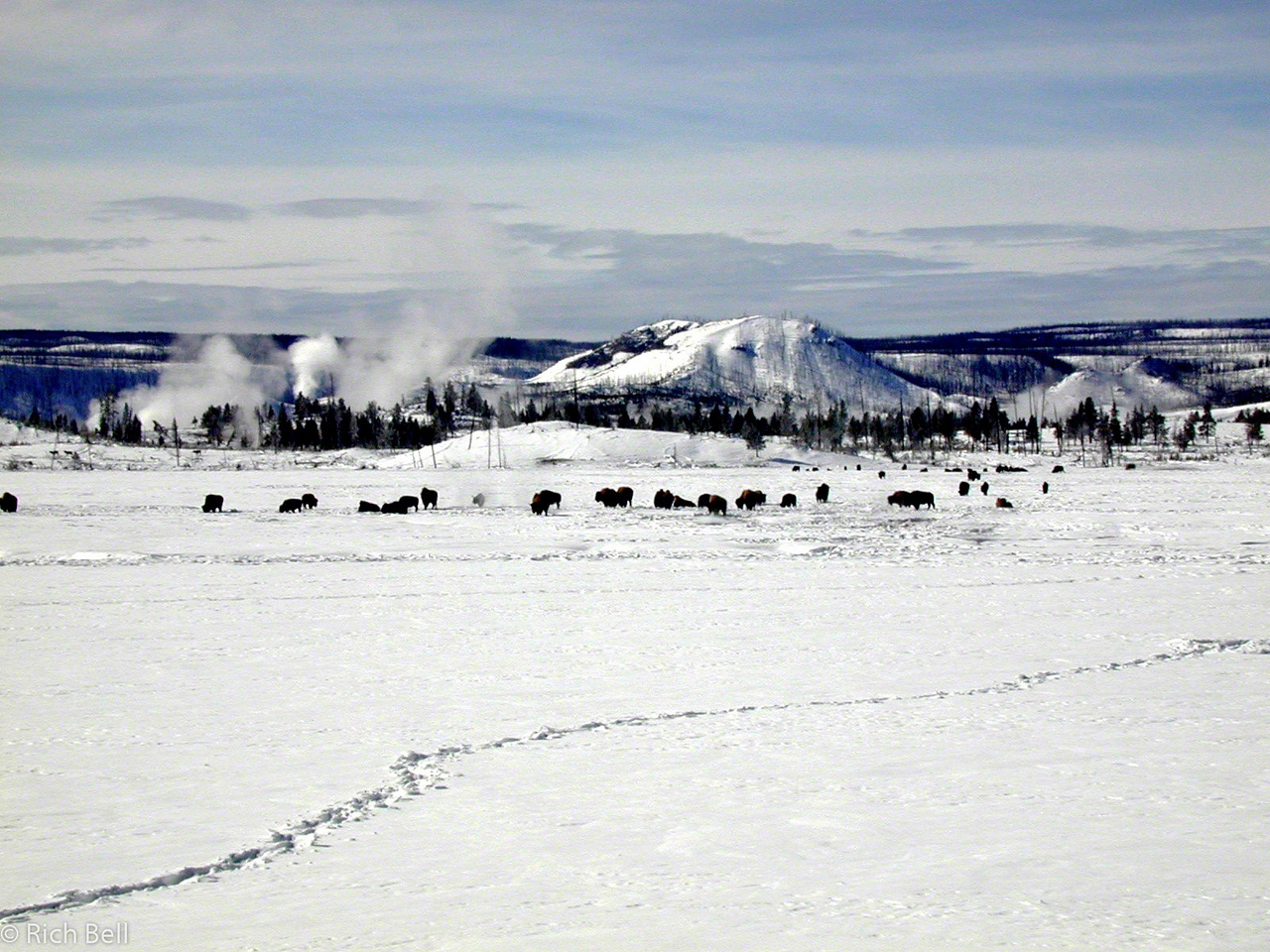 20100721Buffalo in hot springs meadow on trail to Old Faithful 100025